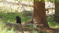 WS Shot of black bear newborn cubs wrestling in forest / Gardiner, Montana, United States