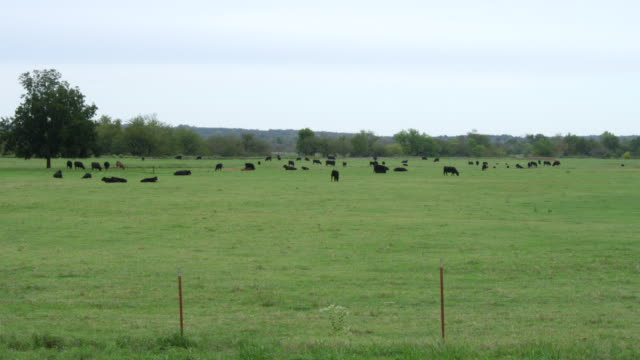 WS Shot of black cows grazing and sitting at large field / Stroud, Oklahoma, United States