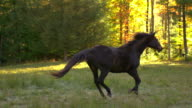 MS SLO MO TS ZO Shot of black horse galloping in field / shady, New York, United States