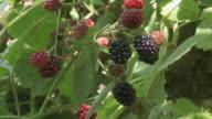 CU Shot of Black raspberries / Appenzell, Appenzell Innerhoden, Switzerland
