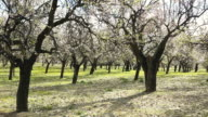 MS Shot of blooming almond trees / Binibona, Mallorca, Balearic Islands, Spain