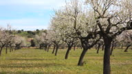 WS Shot of blooming almond trees / Selva, Mallorca, Balearic Islands, Spain
