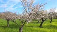 MS Shot of blooming almond trees / Selva, Mallorca, Balearic Islands, Spain