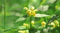 CU Shot of blooming stinging nettle / Kastel Staadt, Rhineland Palatinate, Germany