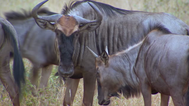 MS Shot of Blue Wildebeest, Pilanesberg Game Reserve / North West Province, South Africa