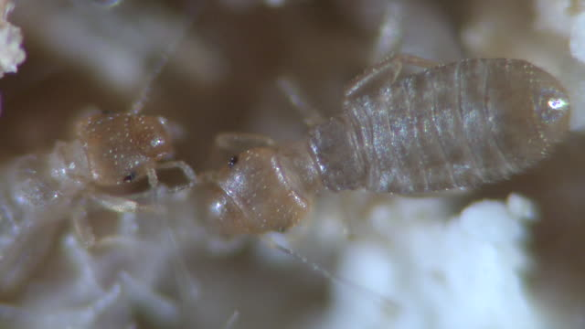 ECU Shot of Booklice insects on food stuff / Newcastle Emlyn, Ceredigion, United Kingdom