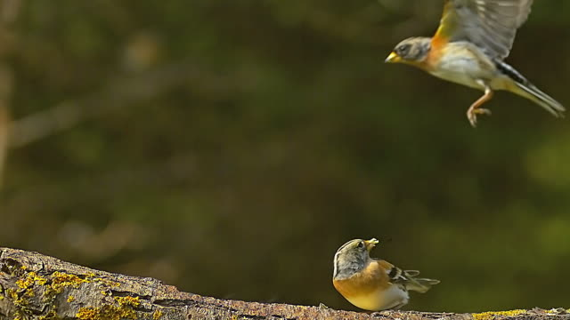 MS SLO MO Shot of Brambling (Fringilla) adult standing on branch and one in flight / Calvados, Normandy, France