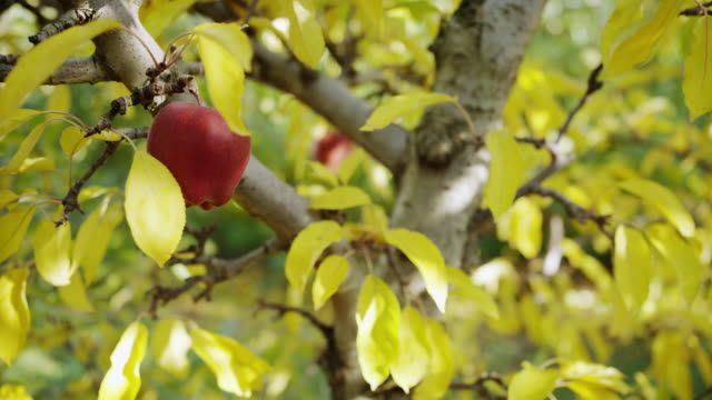CU SLO MO Shot of bright red ripe apple hanging high in tree child's hand comes up and picking it with leaves fall off / Hood River, Oregon, United States