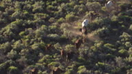 MS AERIAL TS Shot of brown and white horses running together in Washoe County in morning sunlight / Nevada, United States