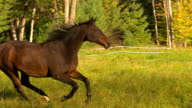 MS SLO MO TS Shot of brown horse galloping in field / shady, New York, United States