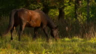WS SLO MO TS Shot of brown horse walking in field, then eating grass / shady, New York, United States