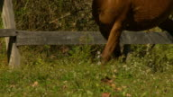 CU SLO MO TS Shot of brown horses feet galloping through lit field with brown fence / shady, New York, United States