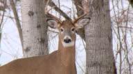 MS TU Shot of Buck deer in winter / Tweed, Ontario, Canada