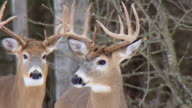 MS Shot of Buck deer in winter / Tweed, Ontario, Canada