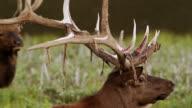 CU Shot of bull elk (Cervus canadensis) loses his velvet as it blows in wind / Grand Lake, Colorado, United States