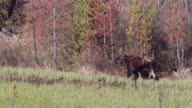 MS 4K shot of bull moose (Alces alces) with new antler growth walking down the stream