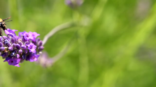ECU SLO MO PAN Shot of Bumble bee taking off of lavender flowers / Les Mureaux, Yvelines (78), France