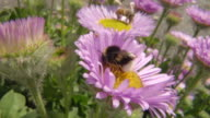 CU PAN SLO MO Shot of Bumblebee and Honey bee nectar feeding / Newcastle Emlyn, Ceredigion, United Kingdom