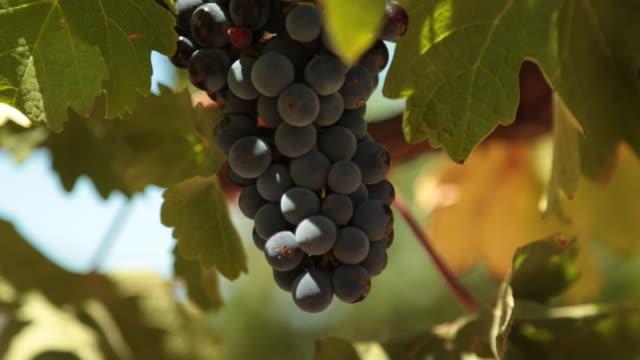 CU R/F Shot of Bunch of black grapes / Kleine Zalze Lodge, Western Cape, South Africa