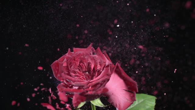 CU SLO MO Shot of bursting rose / Munich, Bavaria, Germany