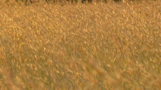 CU R/F Shot of Bush veld grass, Entabeni Game Reserve / Limpopo, South Africa
