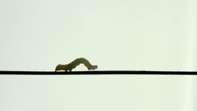 MS Shot of Cabbage Looper (inch wormn) crawls slowly across straight wire / Chelsea, Illinois, United States