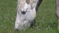 CU Shot of Camargue Horse mare eating grass / Saintes Marie de la Mer, Camargue, France