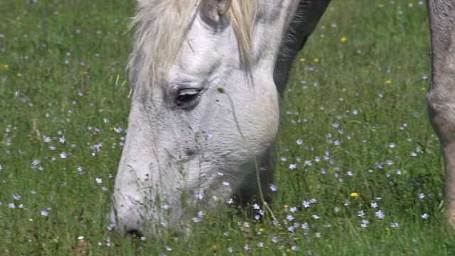 CU Shot of Camargue Horse mare eating grass / Saintes Marie de la Mer, Camargue, France