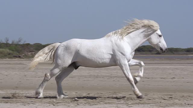 MS TS SLO MO Shot of Camargue Horse Stallion Galloping on Beach / Saintes Maries de la Mer, Camargue, France