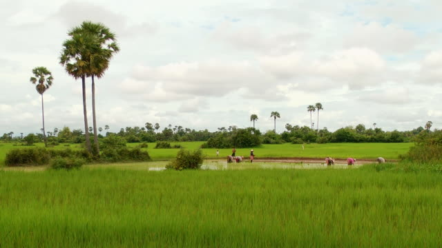 WS Shot of Cambodian farmers working in flooded rice paddies in Puok Area / Siem Reap, Siem Reap Province, Cambodia