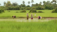WS TU Shot of Cambodian farmers working in flooded rice paddies in Puok Area / Siem Reap, Siem Reap Province, Cambodia