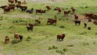 MS DS AERIAL Shot of cattle grazing on grass on big island / Hawaii, United States
