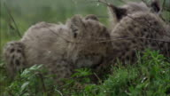 Shot of Cheetah cubs sitting in the rain