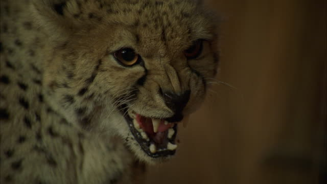 CU Shot of cheetah face / Unspecified