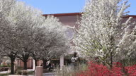 MS Shot of Cherry blossom trees in front of municipal building / Santa Fe, New Mexico, United States
