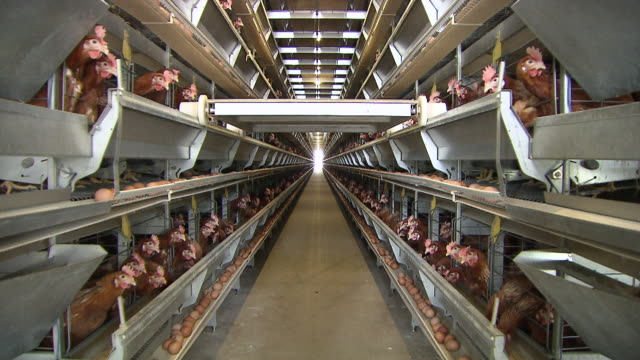 MS Shot of Chicken farm / Anseong, Gyeonggi-do, South Korea