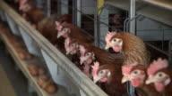 MS RF Shot of Chicken farm / Anseong, Gyeonggi-do, South Korea