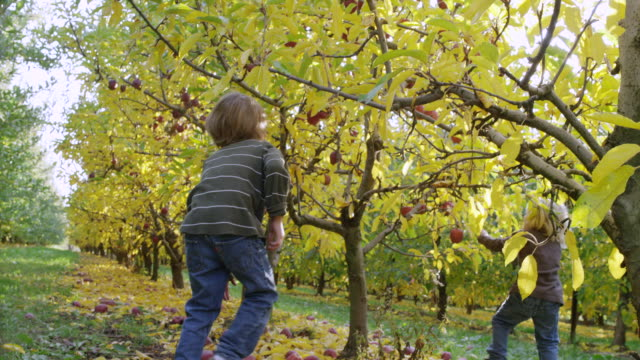 MS TS SLO MO Shot of children excitedly rush to pick apples off trees as they fill their bucket in orchard with shines through tree leaves / Hood River, Oregon, United States