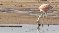 MS Shot of Chilean Flamingo, Phoenicopterus chilensis feeding in high altitude salt lake / San Pedro de Atacama, Norte Grande, Chile