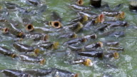 MS SLO MO Shot of Common carp, cyprinus carpio, group with open mouth, asking for food / Morbihan, Bretagne, France