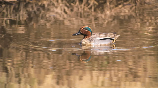 MS Shot of Common teal (Anas crecca) taking off from water / Hula Valley, Galilee, Israel