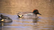 CU TS Shot of Common teals (Anas crecca) swimming in pond / Hula Valley, Galilee, Israel