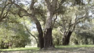MS Shot of Cork trees / Bonifacio, Corsica, France