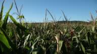 MS PAN TU Shot of  corn field / Clinton,New Jersey,United States