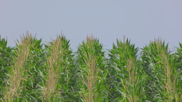 CU AERIAL TU Shot of Corn to reveal irrigation sprinklers / Nebraska, United States