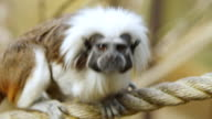 CU TS Shot of Cotton Top Tamarin walking on rope / Amazon World Zoo Park, Isle of Wight, United Kingdom