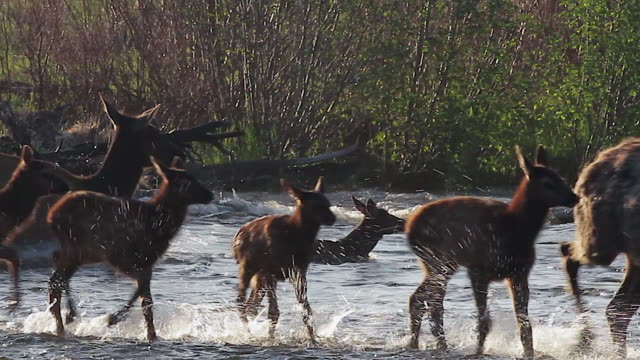 MS shot of cow elk and newborn calves (Cervus canadensis) thrashing and jumping as they cross a stream at dawn