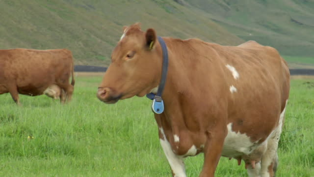 CU TS Shot of cow walking through grassy field / Porvaldseyri, Sudhurland, Iceland