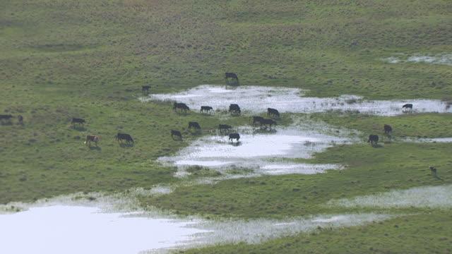 WS AERIAL TS Shot of Cows in water pools in prairie en route near Valentine National Wildlife Refuge / Nebraska, United States