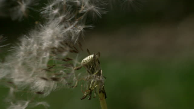CU SLO MO Shot of dandelion being blown by wind / Morristown, New Jersey, United States